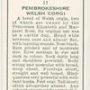 Pembrokeshire Welsh Corgie.