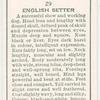English Setter.