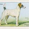 Smooth Fox Terrier.