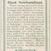 Black Newfoundland.