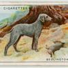 Bedlinton Terrier.
