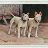Bull-Terriers.