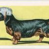 Dandie Dinmont Terrier.