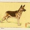 The Alsatian.