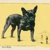 The French Bulldog.