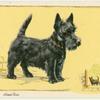 The Abderdeen (Scottish) Terrier.