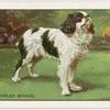 The King Charles Spaniel.