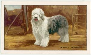 The Bob-Tail or Old English Sheepdog.