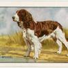 The English Springer Spaniel.