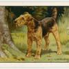 The Lakeland Terrier.