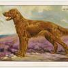 The Irish Setter.