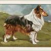 The Collie (Show type).