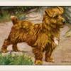 The Norwich Terrier.