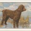 The Irish Water Spaniel.