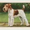The Wire Fox Terrier.