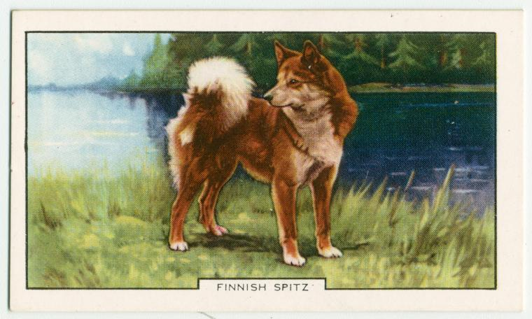 Finnish Spitz.
