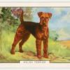 Welsh Terrier.