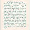 Golden Labrador.