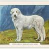 Pyrenean Mountain Dog.