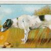 Fox Terrier - selecting a dog.