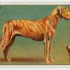 Great Dane - selecting a dog.