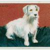 Sealyham Terrier - weaning puppies.