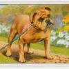 Bulldog - distemper.