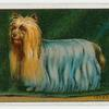Yorkshire Terrier - popular fallacies about dogs.