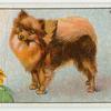 Pomeranian - grooming.