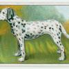 Dalmatian - how to cut a dog's nails.