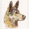 Alsation (German Shepherd Dog).