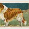 Rough-Coated Collie.