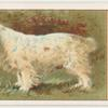 Coumber Spaniel.