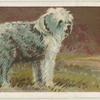 Old English Sheep-dog.