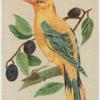 Golden Oriole.