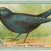 Blackbird (Turdus Merula).