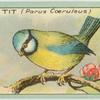 Blue Tit (Parus coeruleus).