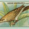 Sedge Warbler (Acrocephalus schaenoboenus).