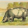 Kolbroek  boar.