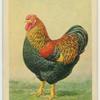 Partridge Wyandotte cock.