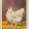 White Orpington hen.