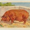 Duroc-Jersey boar.