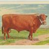North Devon bull.