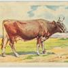 Guerney cow.