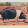 Essex boar.