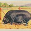 Large Black sow.