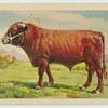 South Devon bull.