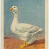 Emden goose.
