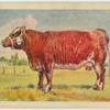 Shorthorn cow.