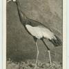 The Kaffir or Crowned Crane.